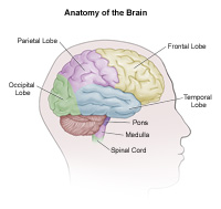 Anaotmy of the Brain